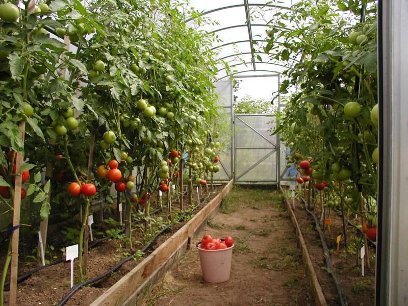 Как ухаживать за помидорами в теплице из поликарбоната пошаговое