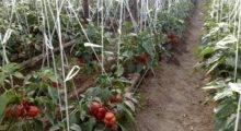 Теплицы для выращивания перца в Крыму.