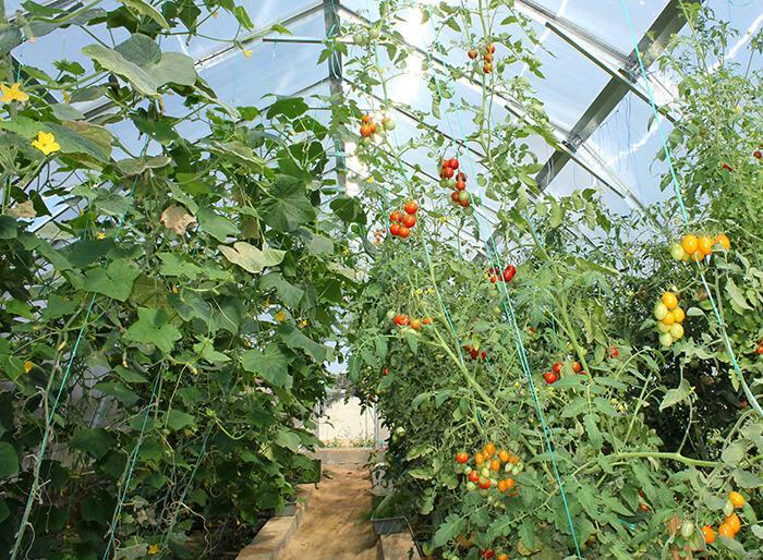Можно ли сажать в теплице помидоры и огурцы вместе отзывы