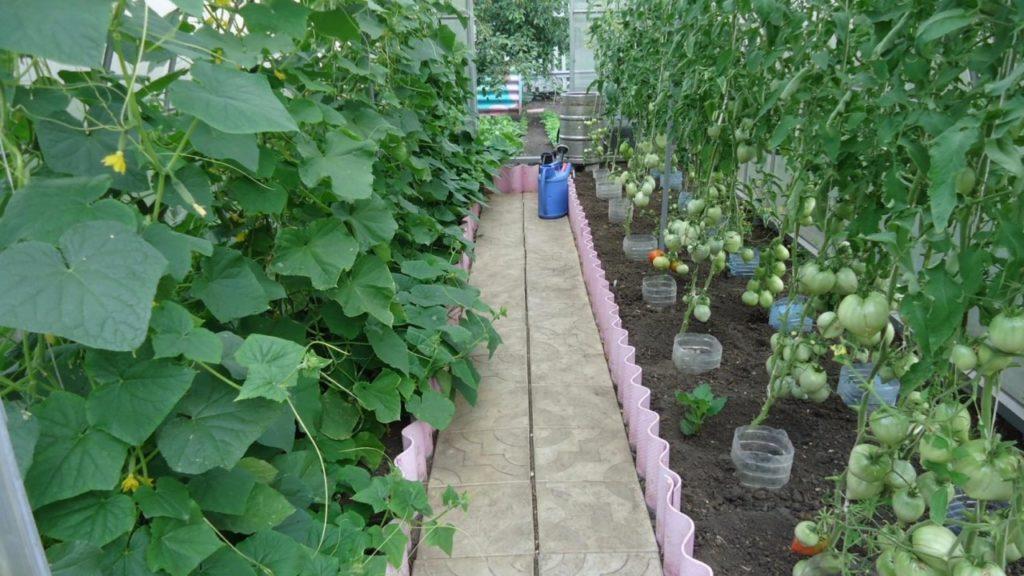 огурцы и томаты в одной теплице фото