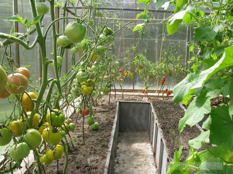 огурцы и помидоры в одной теплице фото